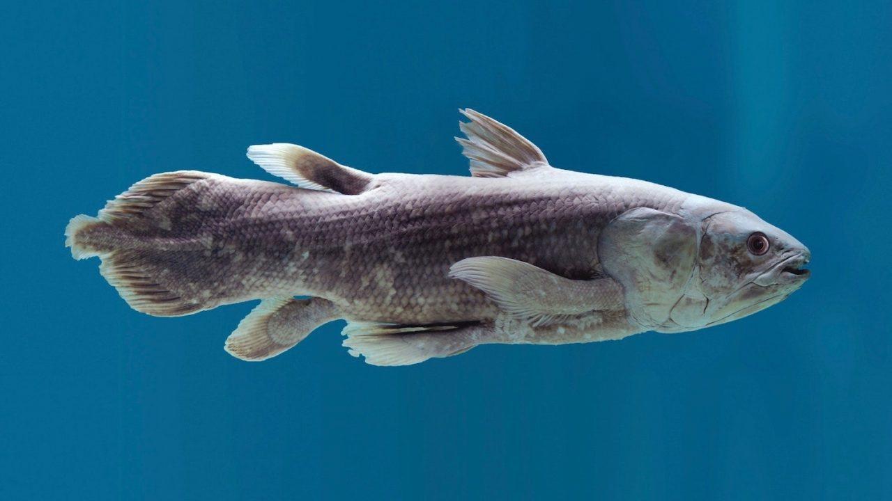 celacanto pesce fossile